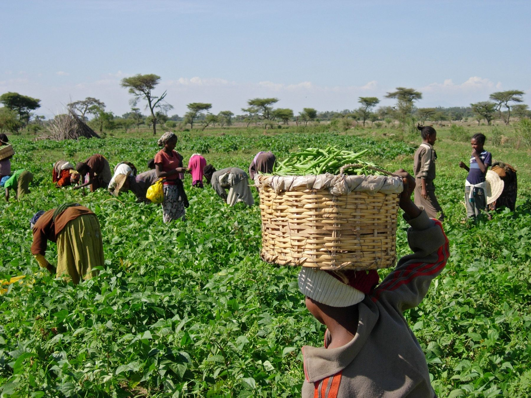 Agriculture In Ethiopia Wiki Everipedia Agriculture Seed