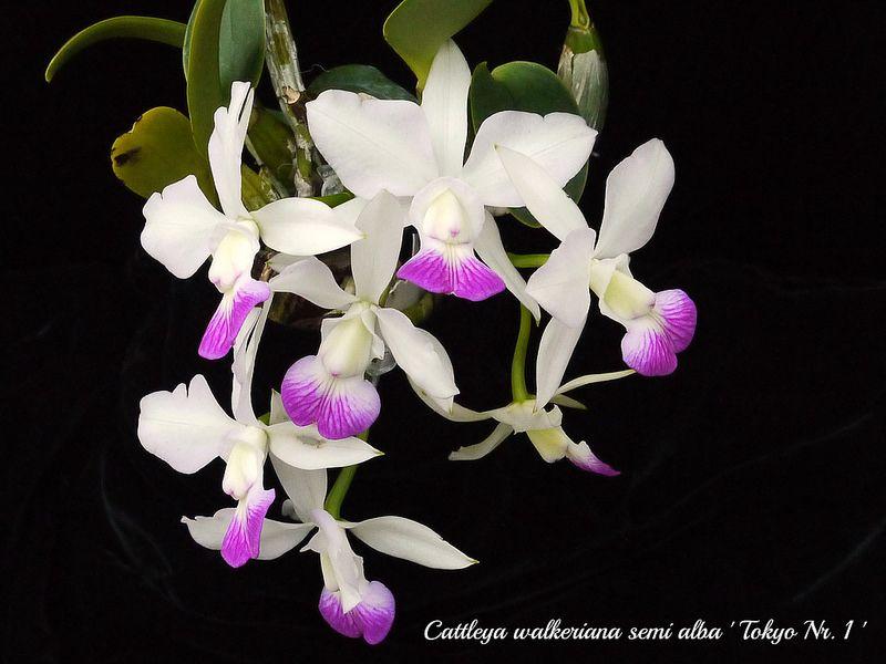 alba Orchid seed Laelia speciosa var