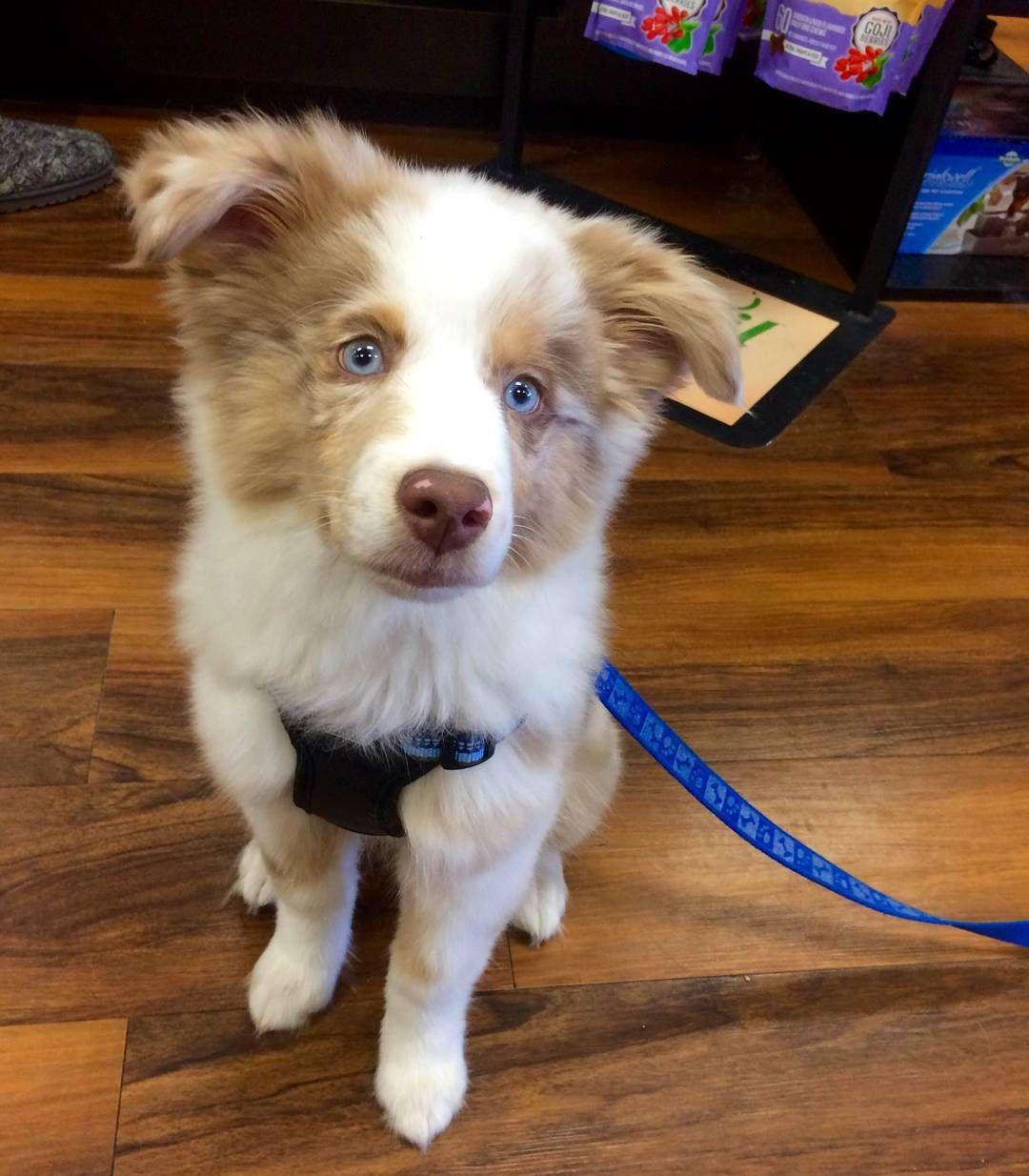 Petvalu Us On Instagram Meet Gizmo Our Cutecustomeralert From Pet Valu Philadelphia Pa Grant Ave Gizmo Is A 4 Puppy Dog Eyes Australian Shepherd Pets