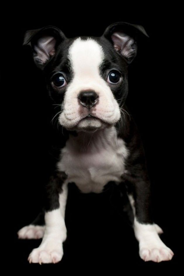Adorable Boston Terrier puppy.