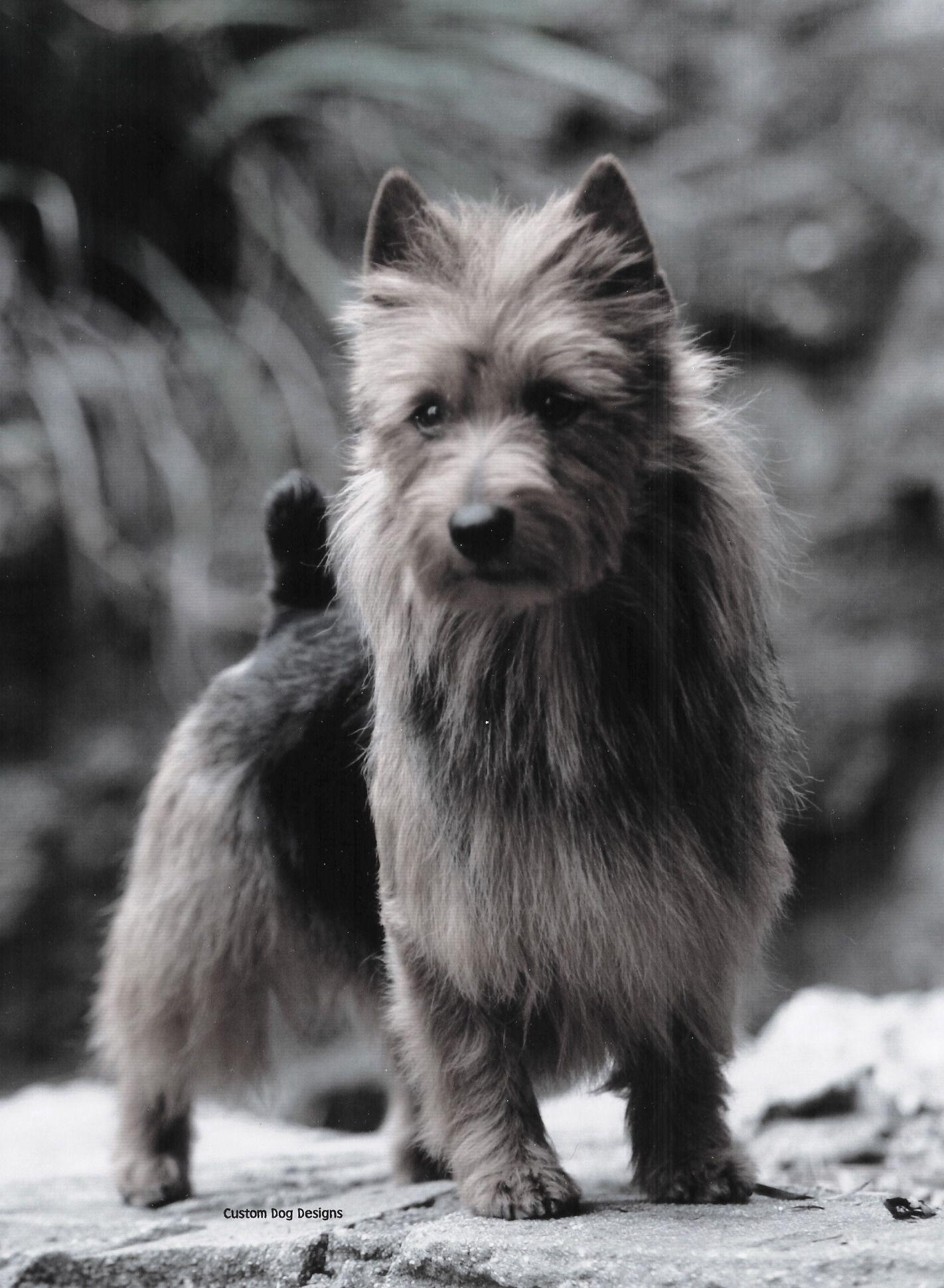 Arista Australian Terriers Australian Terrier Terrier Silky Terrier
