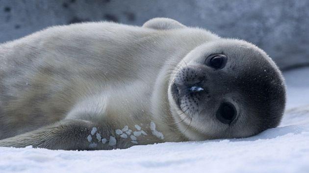 Los Bebes De La Foca De Weddell Son Las Crias Mamiferas Mas Inteligentes Rt Foca Bebe Foca Fotos De Animales Tiernos