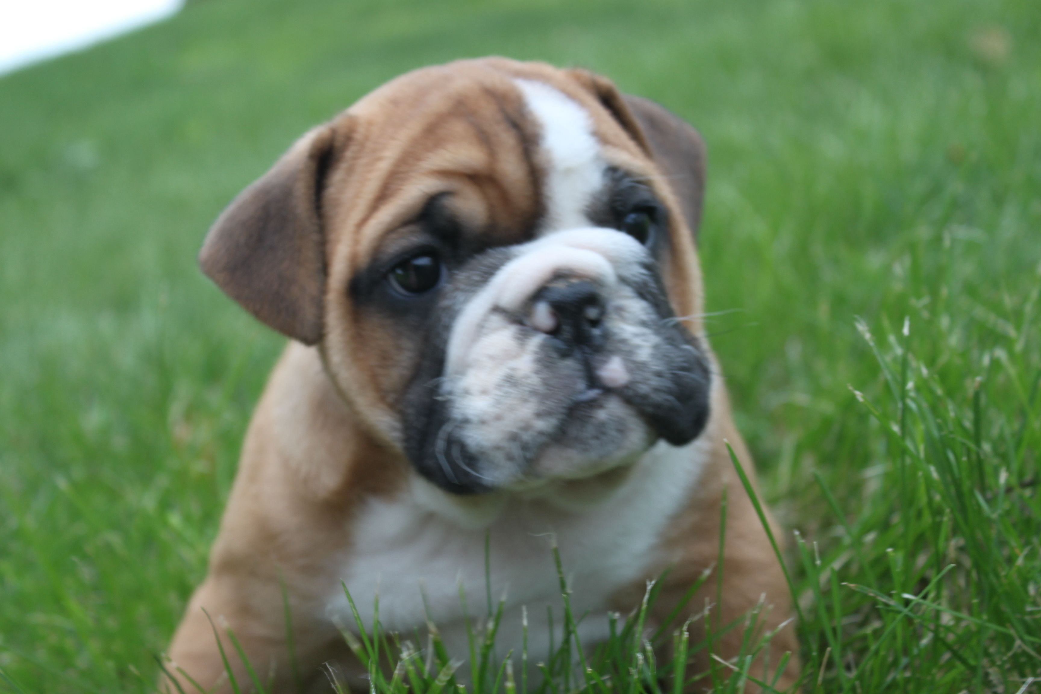 This English Bulldog Just Became Available The Profile Is At Http