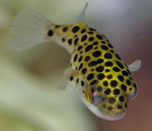 Freshwater Puffer Fish   freshwater puffer fish belongs to the family tetradontidae and they ...