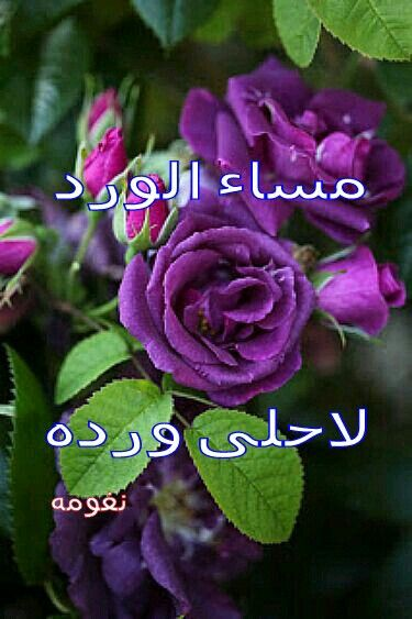 مساء الورد Flowers Rose Plants