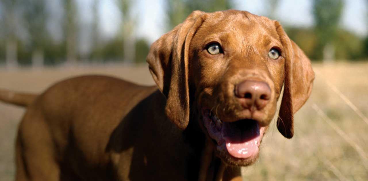 Vizsla puppies for sale ca