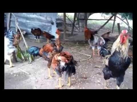 Criação de galinha caipira comum - YouTube
