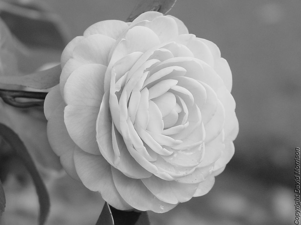 My Favorite Flower Camellia Name Flower Tattoo Camellia Flower Flower Tattoo