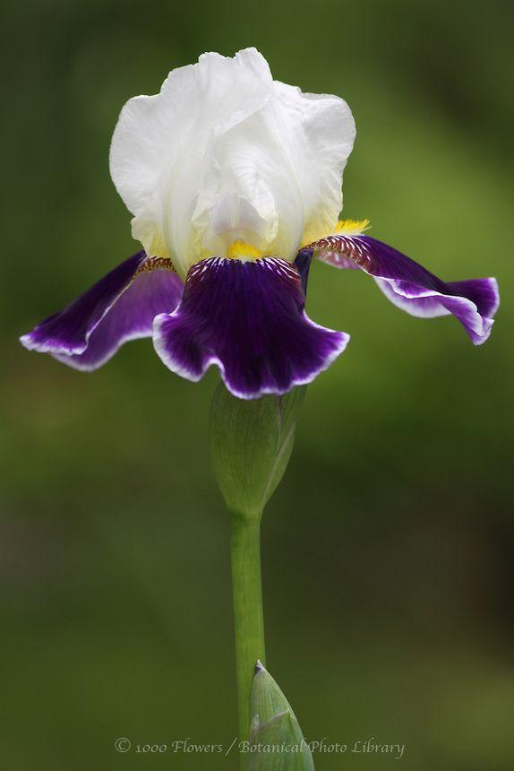 Iris Wabash Iris Flowers Purple Flowers Unusual Flowers