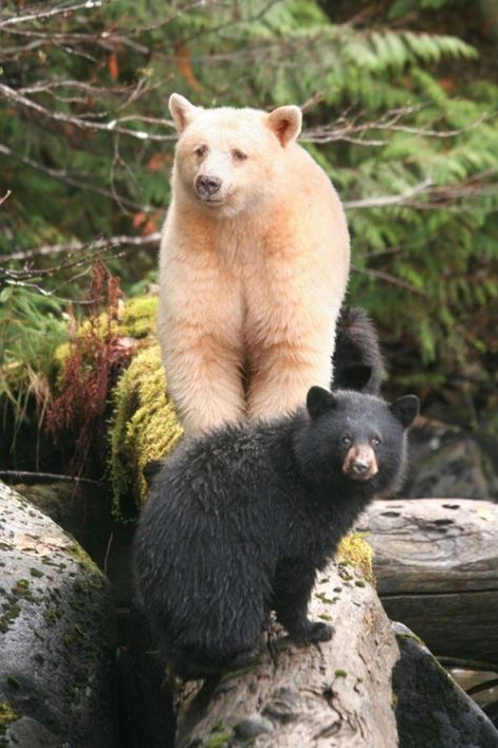 Jennifer Anton Kermode bear, Spirit bear, Black bear