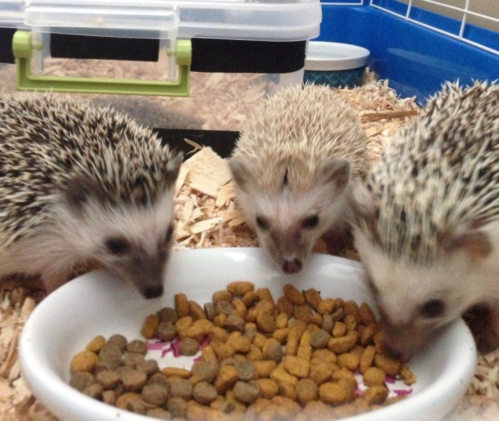 10 Reasons Why Hedgehogs Make The Best College Pets College Fun Pets Hedgehog