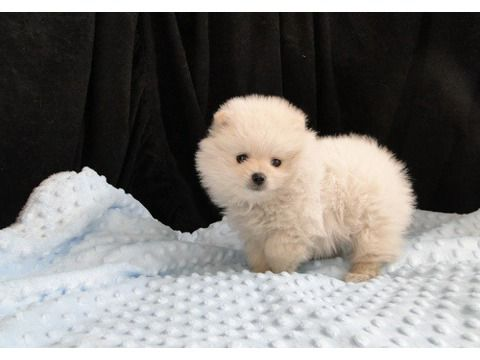 Micro Teacup Pomeranian Puppies Akc Registered Available Elegant