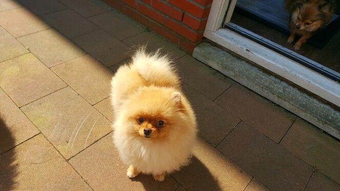 Pin By Liv On Teven Pomeranian Lovers Pomeranian Puppy Puppies