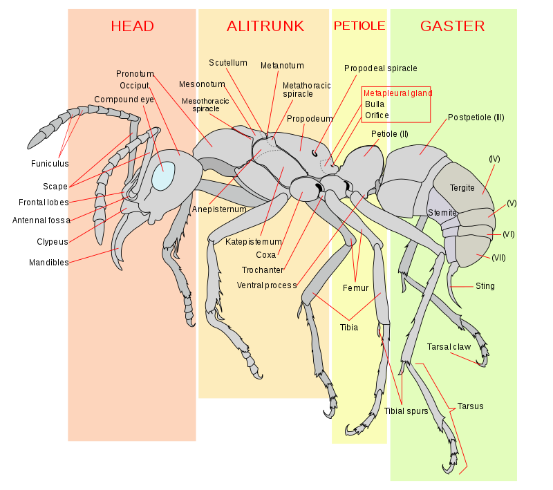 General Body Plan Of A Worker Ant The Metapleural Gland May Be
