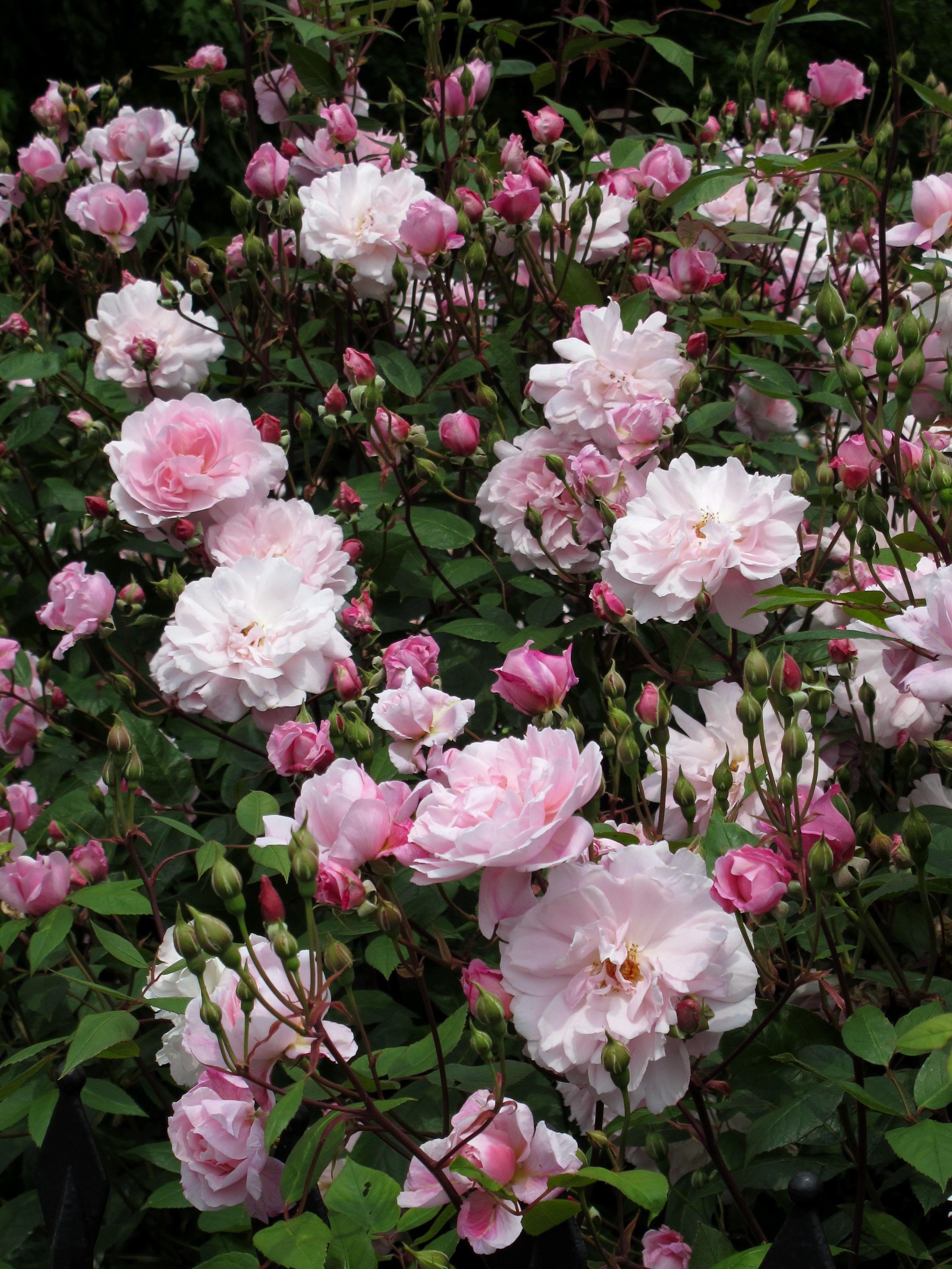 Rosa 'mortimer Sackler' English Roses Blooming Rose