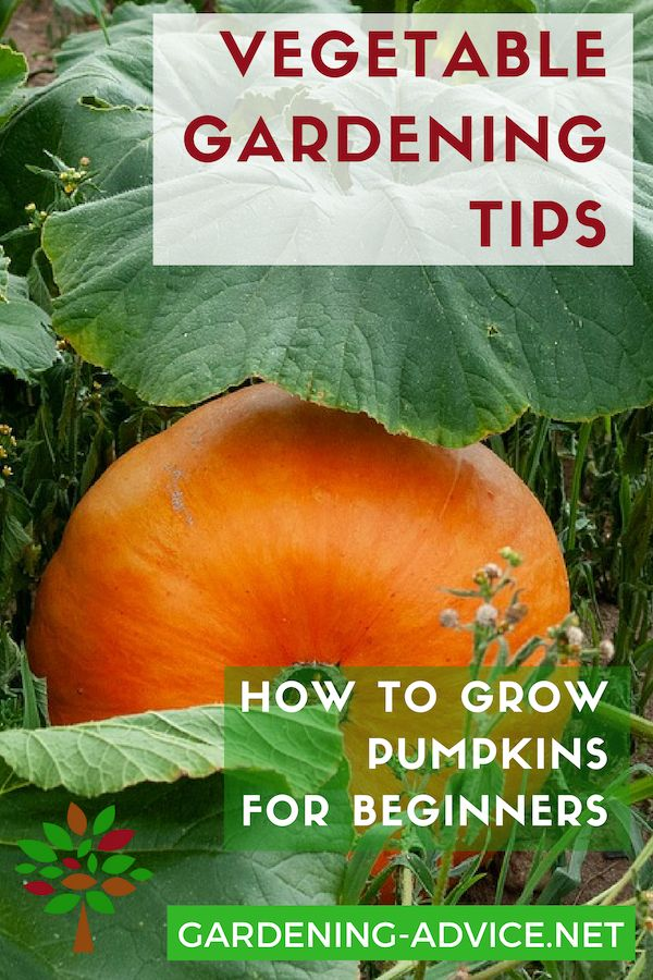 Growing Pumpkins - How To Grow The Biggest Pumpkins #howtogrowvegetables