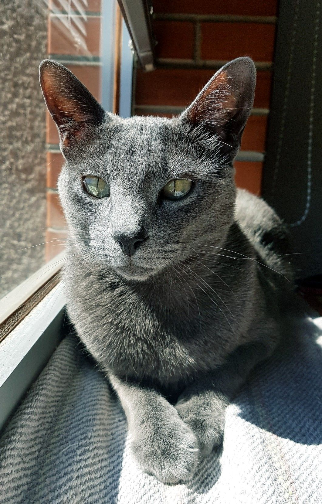 Horatio the Russian Blue. (With images) Russian blue