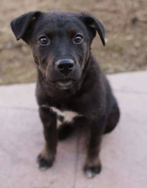 Black Lab Rottweiler Pitbull Mix Nova Puppy Chillen Lab Mix Puppies Rottweiler Mix Pitbull Lab Mix