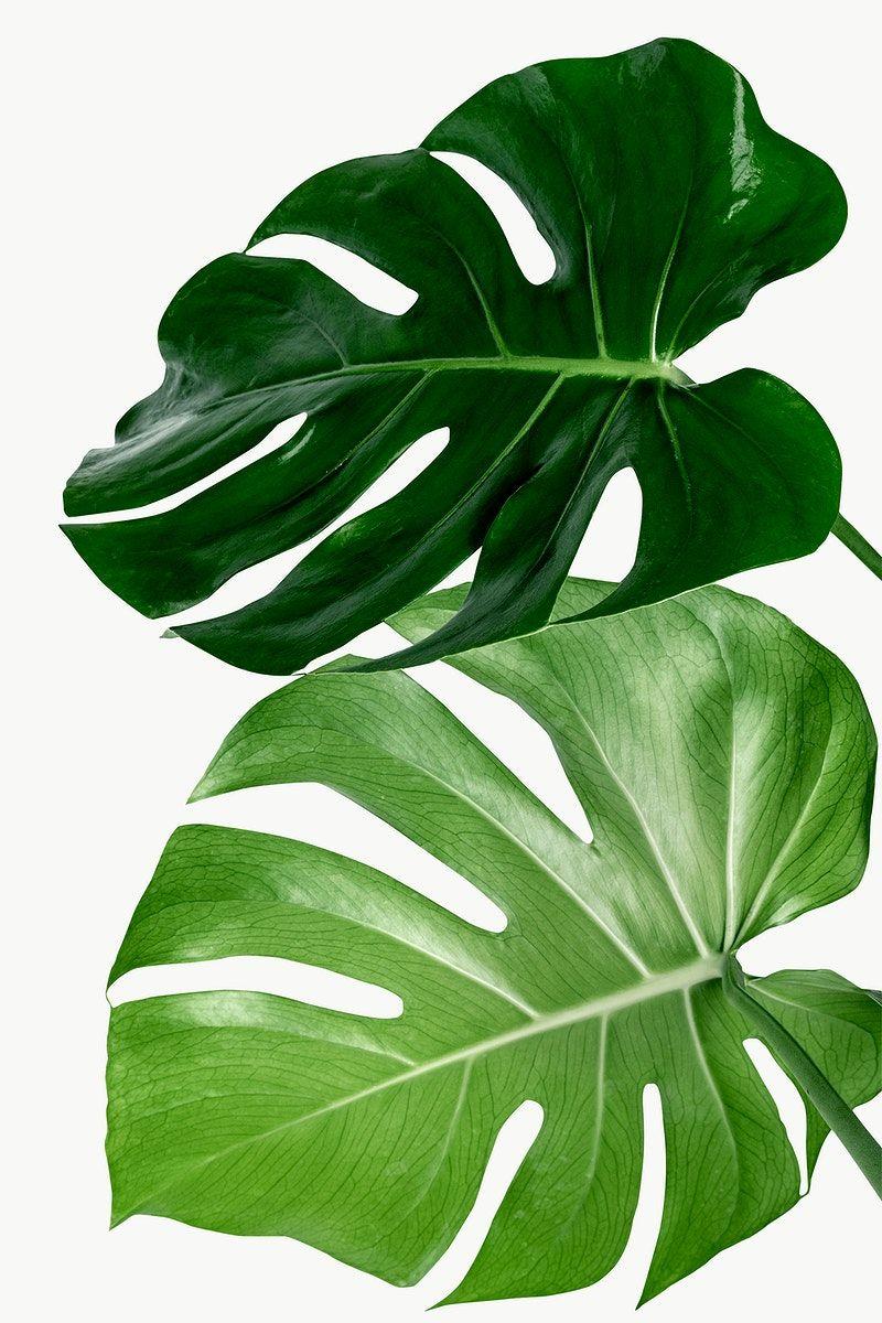 Split Leaf Philodendron Monstera Plant Element Transparent Png Free Image By Rawpixel Com Jira Tanaman Hijau Pemandangan Abstrak Lukisan Kaktus