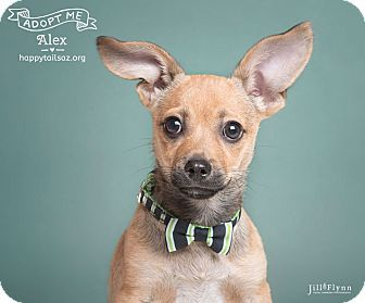 Chandler Az Chihuahua Dachshund Mix Meet Alex A Puppy For