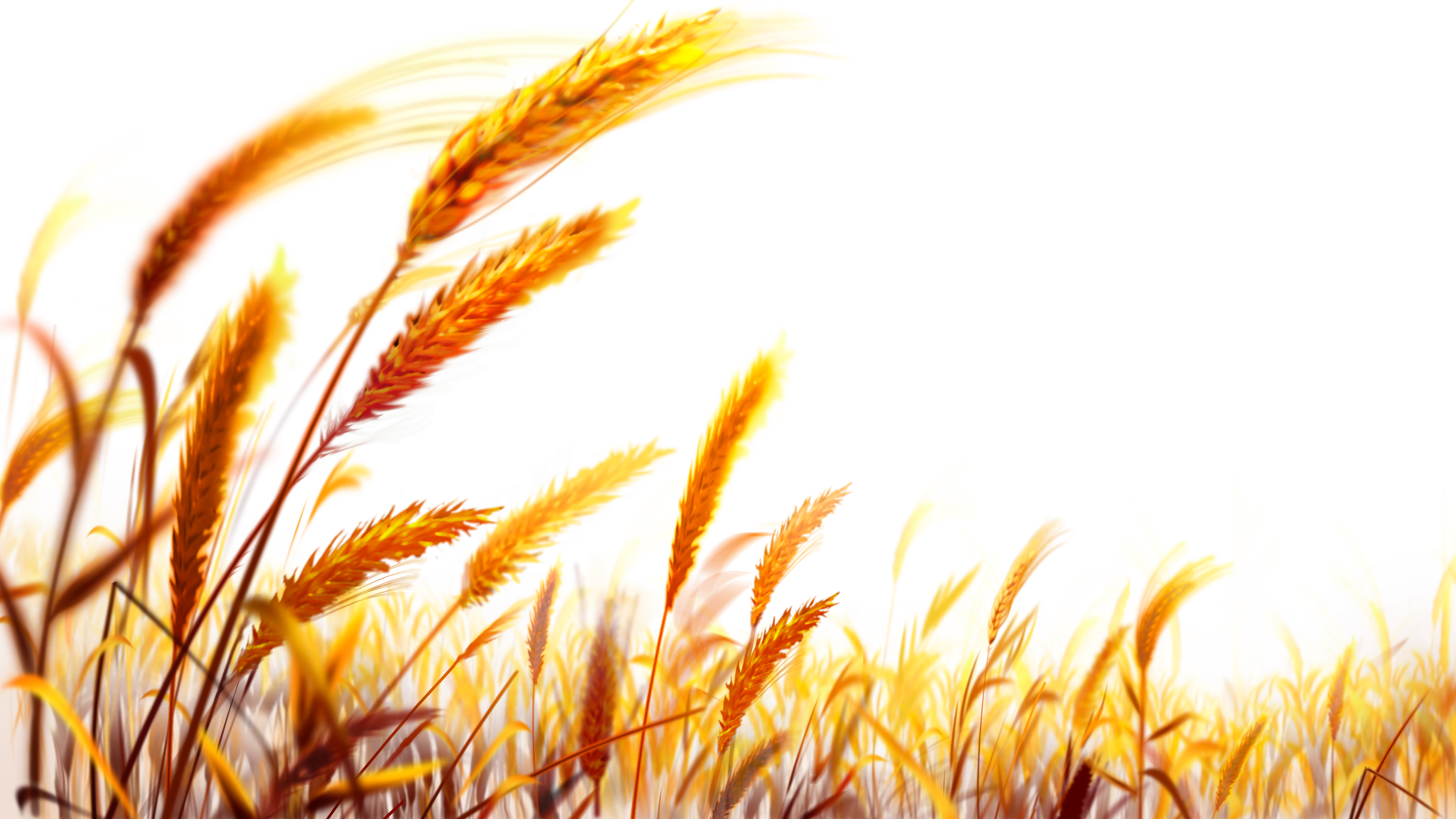 Wheat PNG Image Wheat fields, Poster background design
