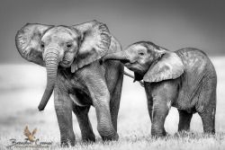 Elephants at PlaybyBrendon Cremeron500px.com