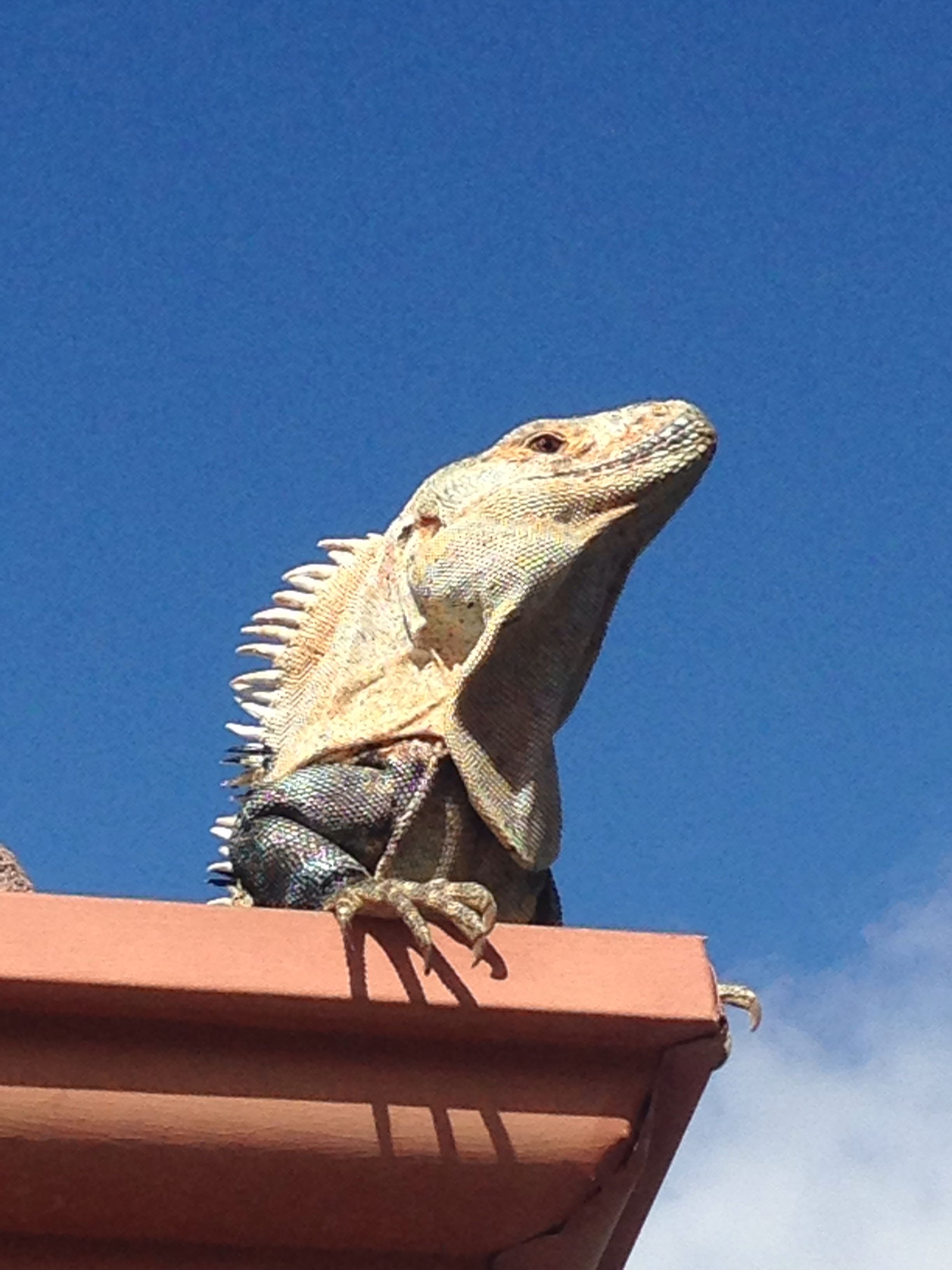 Costa rica iguana iguana lizard animals