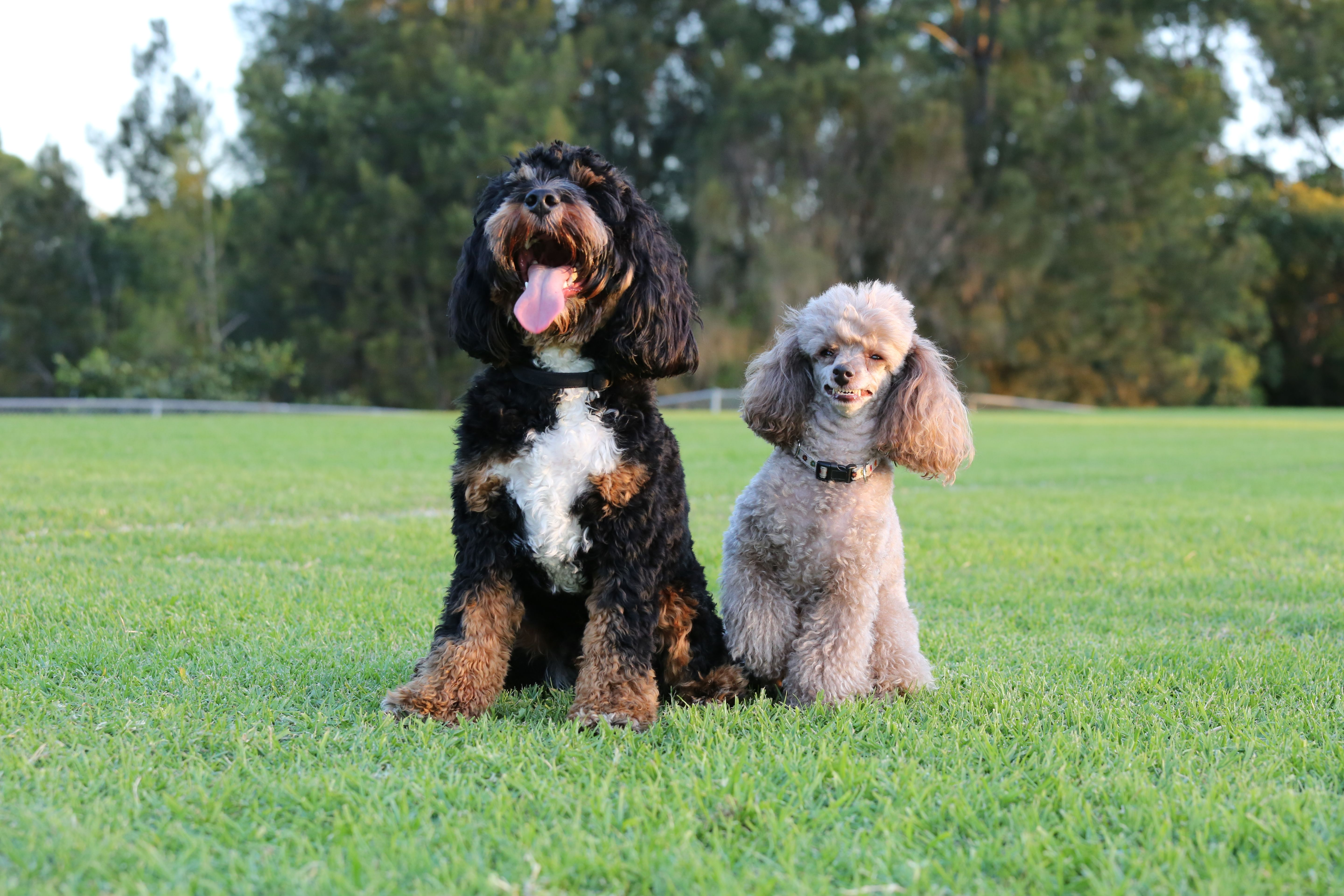 A Smiling Poodle with her Cavoodle Brother