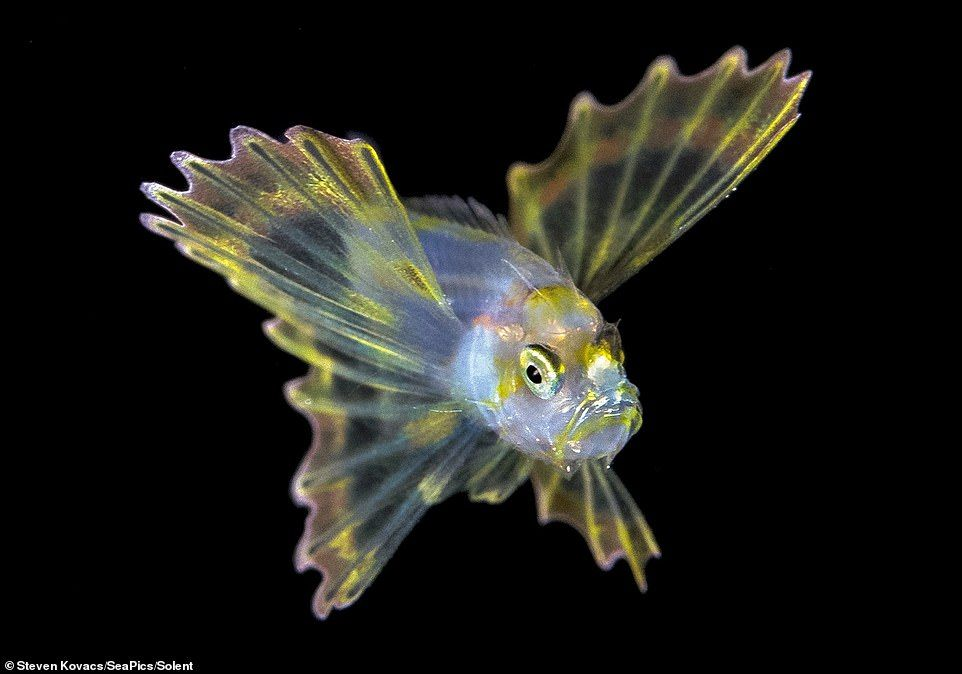 Diver captures stunning images of baby lionfish (With