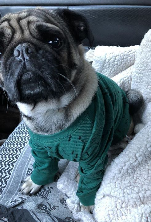 Lost Dog Shakopee Pug Male Medical Date Lost 12 19 2018 Dog S