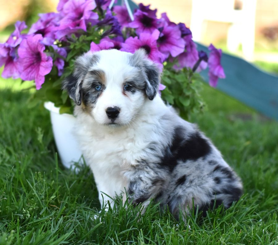 Glastonbury Ct Australian Shepherd German Shepherd Dog Mix Meet Abbigale A Puppy For Adoption Http Australian Shepherd Shepherd Dog Mix Puppy Adoption