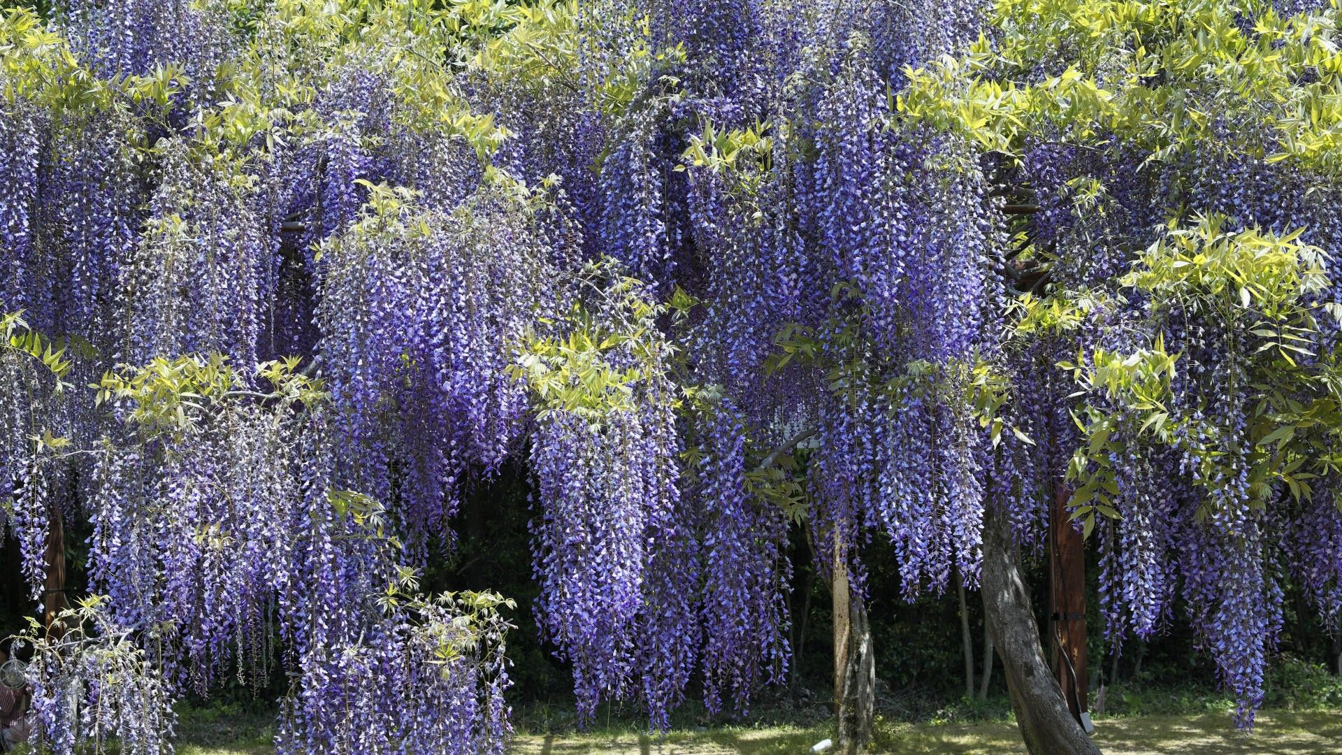 Hanging vine flower images japan flowers hanging wisteria hanging vine flower images japan flowers hanging wisteria parks purple flowers vines 397132 35 mightylinksfo