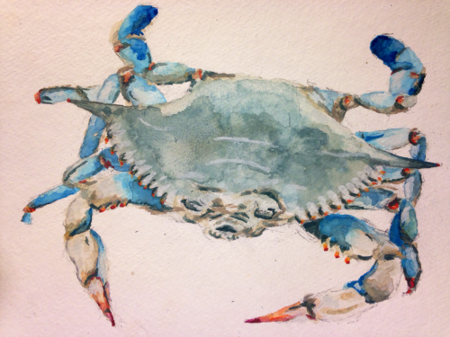 cbellmyers:  Caroline bell Myers  Watercolor blue crab