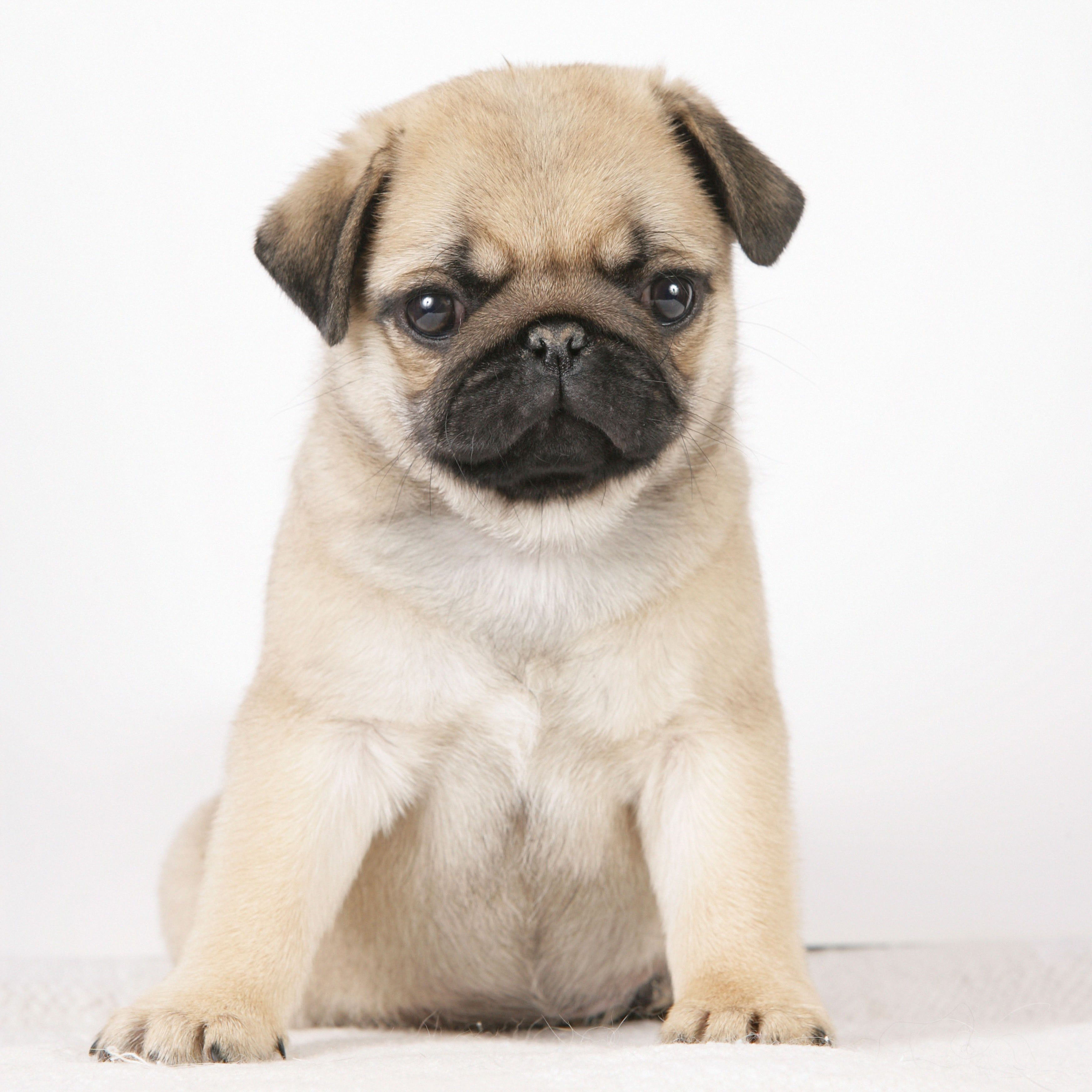 National Puppy Day Yawning Walkies And Puppy Dog Eyes Pug