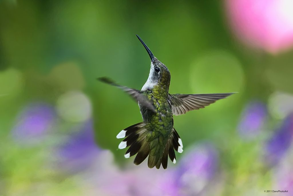 Hummingbird Flying In The Garden Rgb9599t Hummingbird Pictures Bird Photography Hummingbird