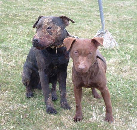 Gak Sido Riyoyo Patterdale Terrier Patterdale Terrier Terrier Breeds Terrier Dogs