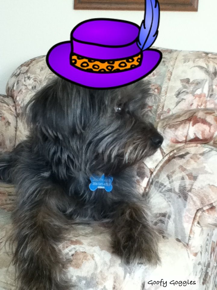 My cute little puppy sparky wearing a hat! JK. He is not wearing a hat it is an app. But he is my puppy! He is a 1 year old Yorkie Shitzu cross.