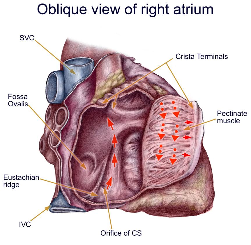 https://www.google.com/search?q=Eustachian Ridge | EP Anatomy RCES ...