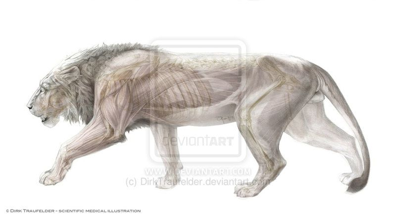 Célèbre lion muscle side | Lions | Pinterest | Lions, Muscles and Anatomy AI61