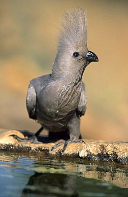 """Grey Go-away-bird (Corythaixoides concolor), aka Grey Lourie - a southern African bird of uniform grey with black beak. It is widespread in savanna woodland. It has a distinctive loud alarm call """"quare"""" fancifully sounding like """"go away"""""""