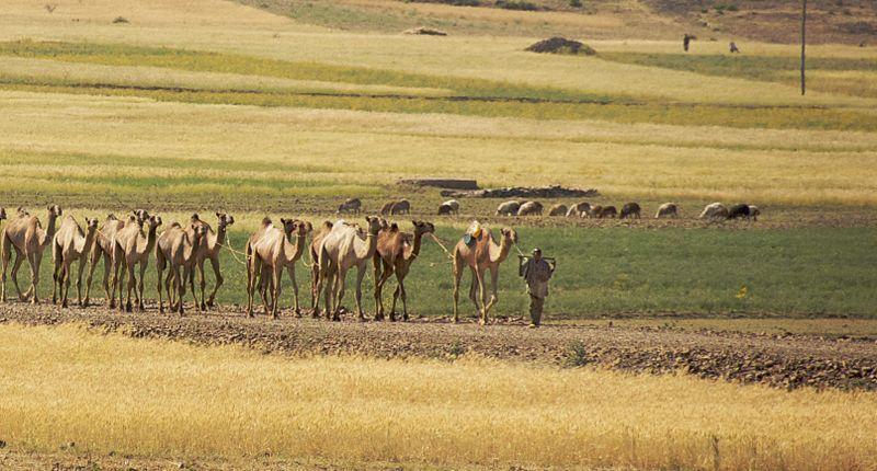 Camels near Axum, Ethiopia.