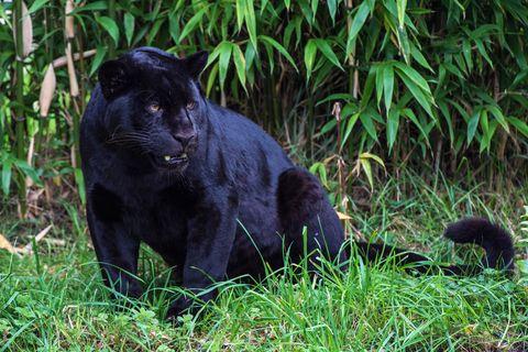 A Black Jaguar Big Cats Cats Chester Zoo Black Jaguar