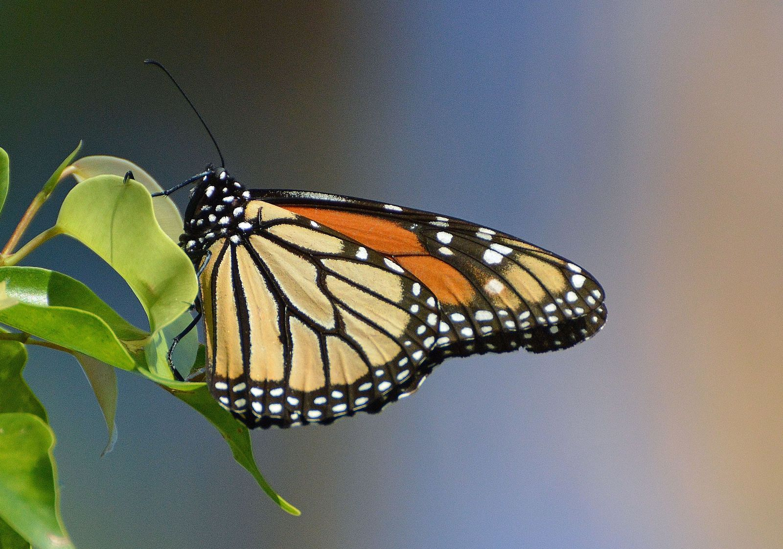 Monarch Butterfly in Miami Beach   Flickr - Photo Sharing!