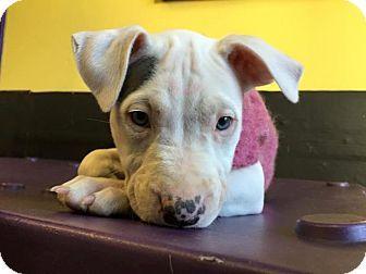 http://www.adoptapet.com/pet/12590590-wauwatosa-wisconsin-american-pit-bull-terrier-mix?view_src=sshtml