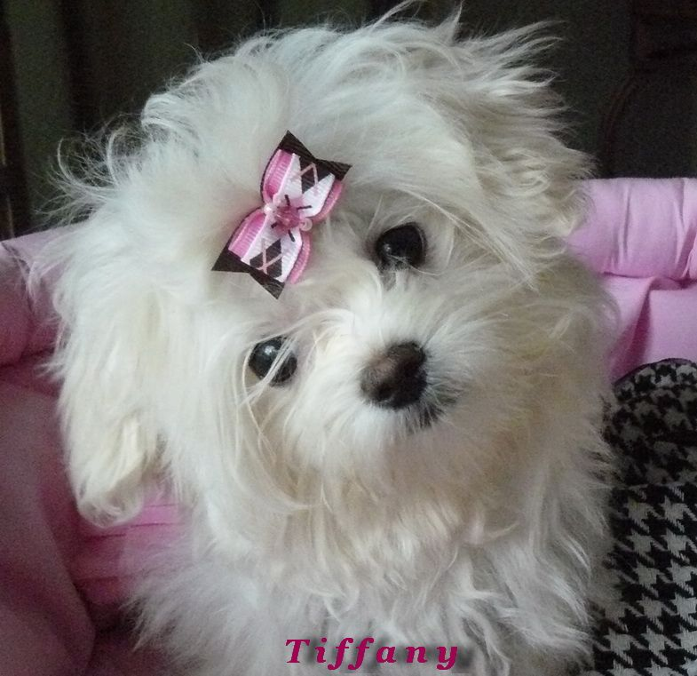 Precious little Maltese female
