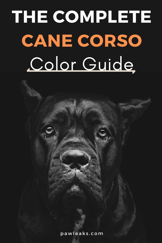 Cane Corso Colors Blue Cane Corso Myth Busted Cane Corso Colors Blue Cane Corso Puppies Cane Corso