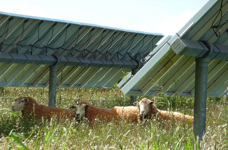 Neglected pastures thrive under solar panels solar