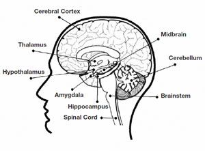 The Brain—Lesson 1—The Brain: What's Going On in There ...