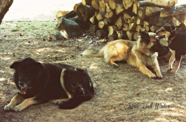 Amaro, Penny, and Susie. For some reason, Amaro's ears never stood up. Penny is one of his offspring (Shepherd/Collie Mix)