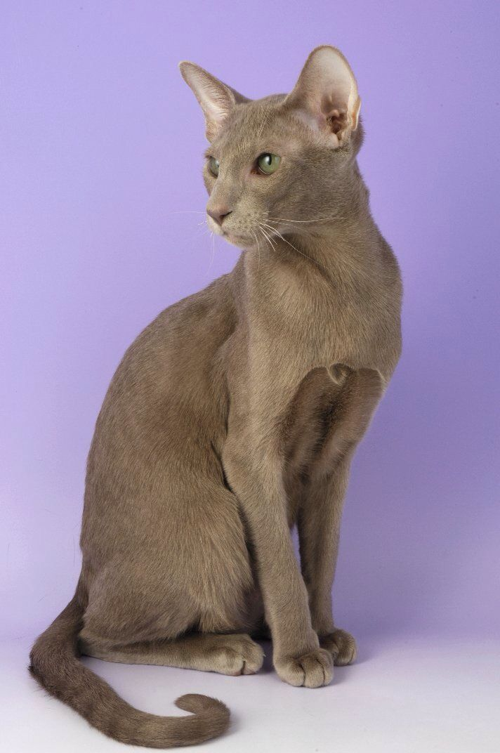 lilac or lavender oriental shorthair cats cats oriental shorthair cats oriental shorthair. Black Bedroom Furniture Sets. Home Design Ideas